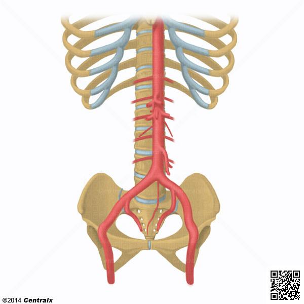 Aorta - Atlas de Anatomía del Cuerpo Humano - Centralx