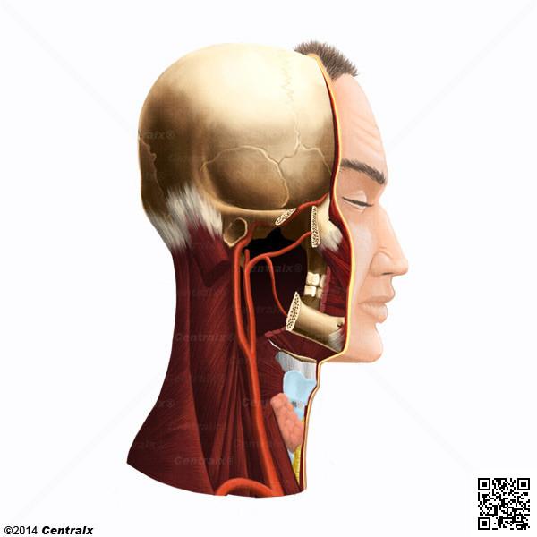 Vasos Sanguíneos - Atlas de Anatomía del Cuerpo Humano - Centralx