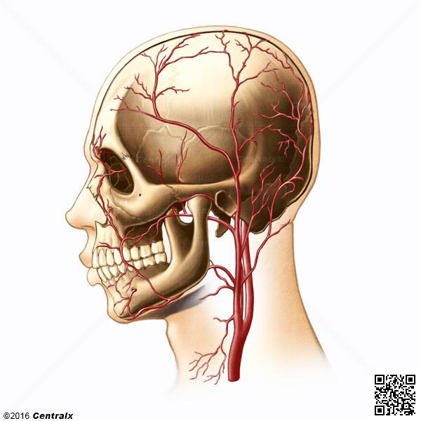 Arterias Temporales - Atlas de Anatomía del Cuerpo Humano - Centralx