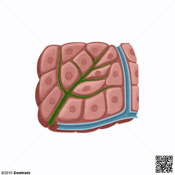Hepatocitos