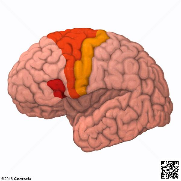 Corteza Motora - Atlas de Anatomía del Cuerpo Humano - Centralx