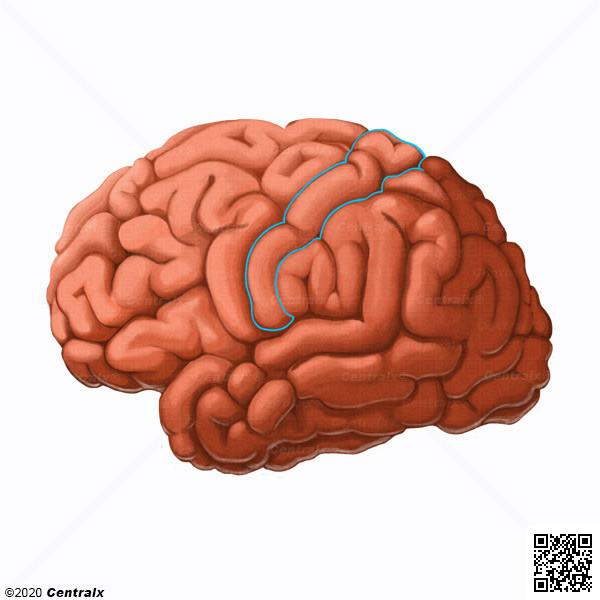 Corteza Somatosensorial