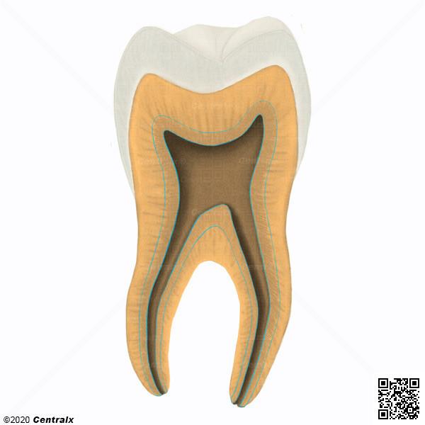 Dentina Secundaria