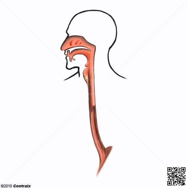 Esófago - Atlas de Anatomía del Cuerpo Humano - Centralx