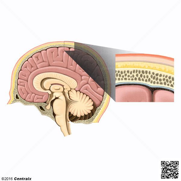 Espacio Epidural - Atlas de Anatomía del Cuerpo Humano - Centralx