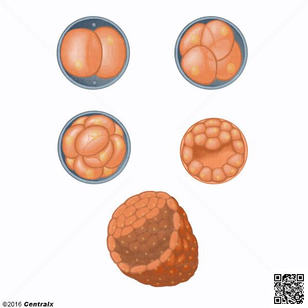 Fase de Segmentación del Huevo