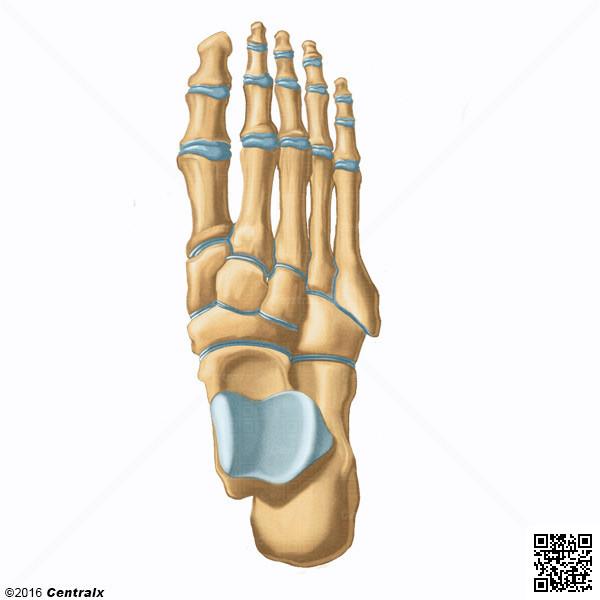 Falanges de los Dedos del Pie - Atlas de Anatomía del Cuerpo Humano ...