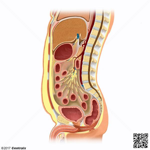 Grasa Abdominal - Atlas de Anatomía del Cuerpo Humano - Centralx