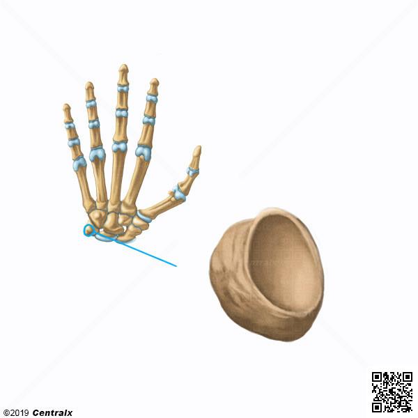 Hueso Pisiforme