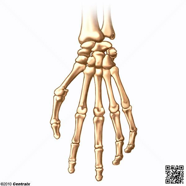 Huesos de la Extremidad Superior - Atlas de Anatomía del Cuerpo ...