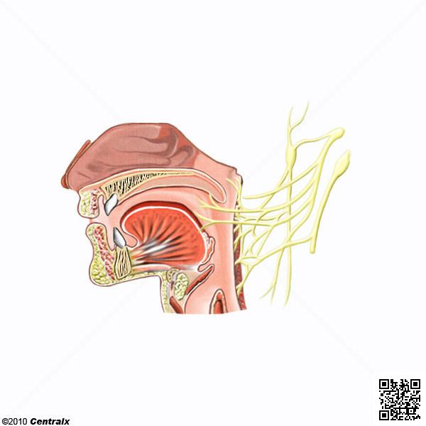 Nervio Glosofaríngeo - Atlas de Anatomía del Cuerpo Humano - Centralx