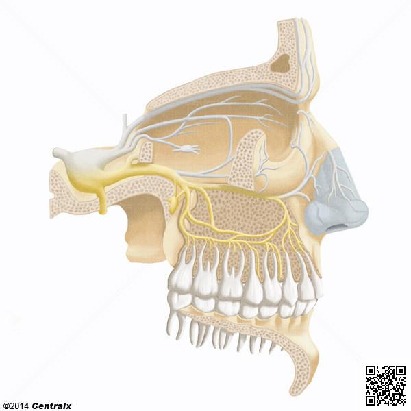 Nervio Maxilar - Atlas de Anatomía del Cuerpo Humano - Centralx