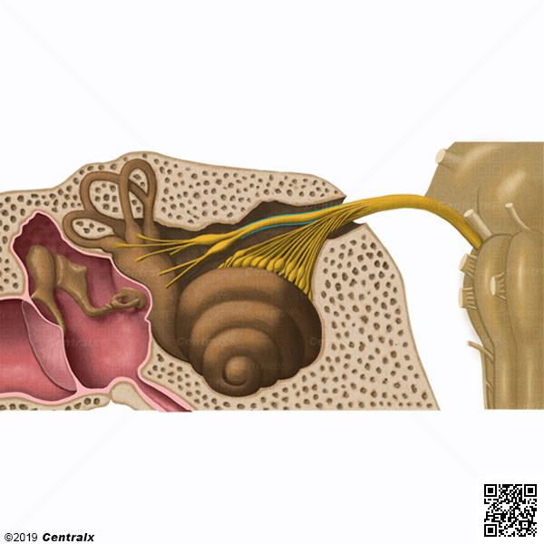 Nervio Vestibular