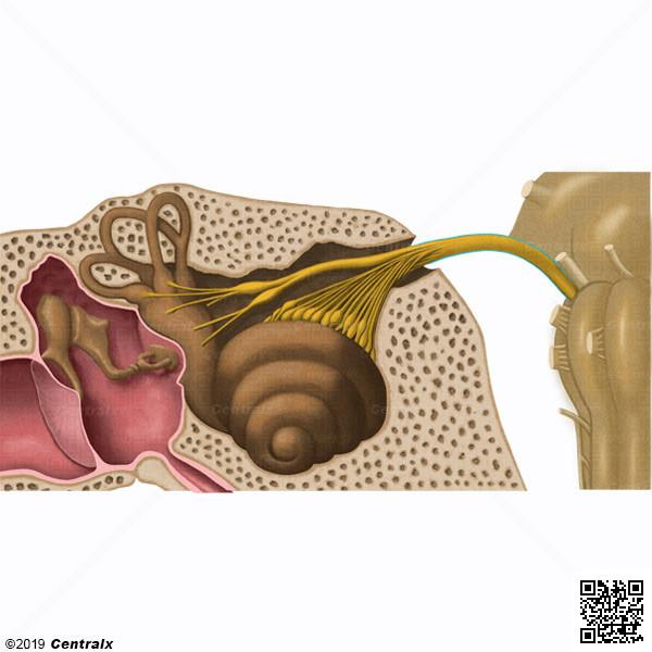 Nervio Vestibulococlear