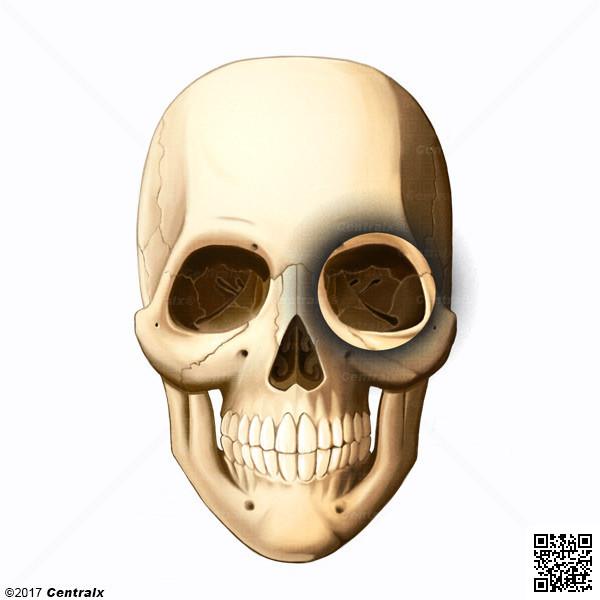 Órbita - Atlas de Anatomía del Cuerpo Humano - Centralx
