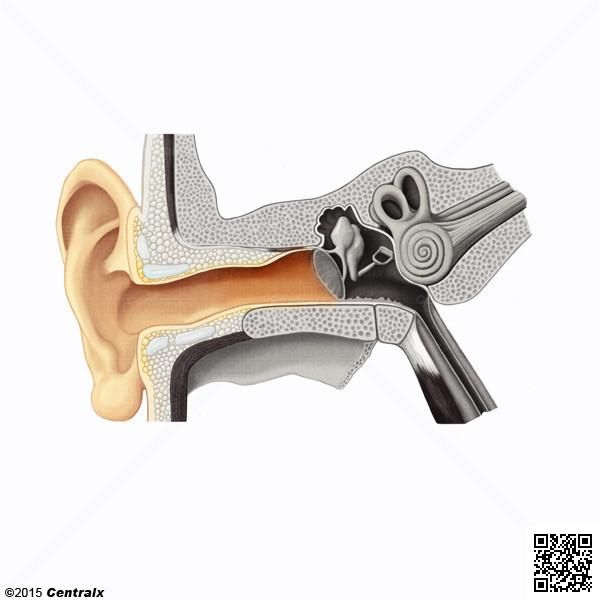 Conducto auditivo externo atlas de anatom a del cuerpo for Esterno o externo