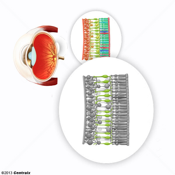 Células Bipolares de la Retina