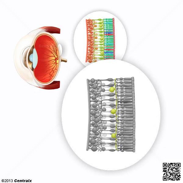 Células Horizontales de la Retina