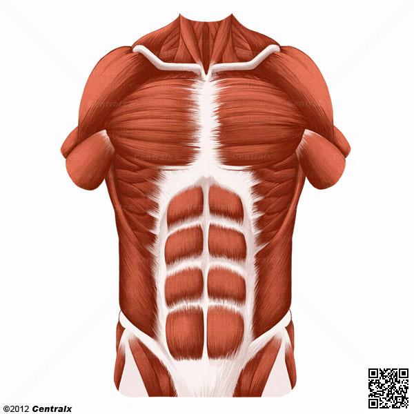 Pared Abdominal - Atlas de Anatomía del Cuerpo Humano - Centralx