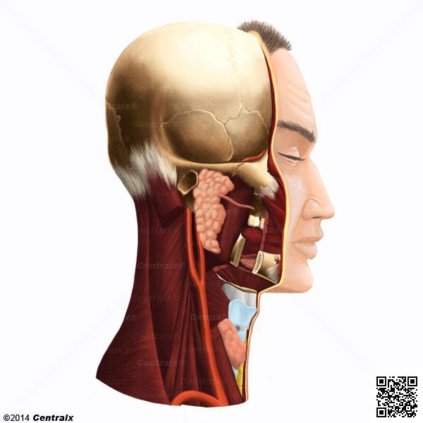 Región Parotídea - Atlas de Anatomía del Cuerpo Humano - Centralx