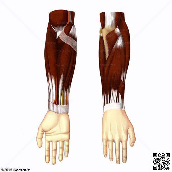 Antebrazo - Atlas de Anatomía del Cuerpo Humano - Centralx