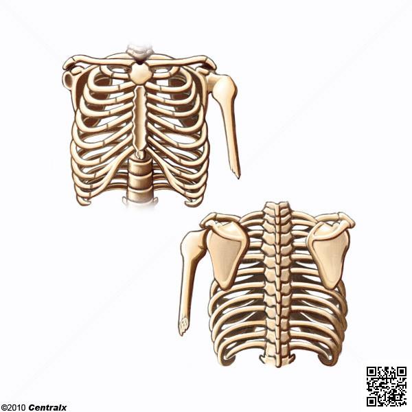 Tórax - Atlas de Anatomía del Cuerpo Humano - Centralx