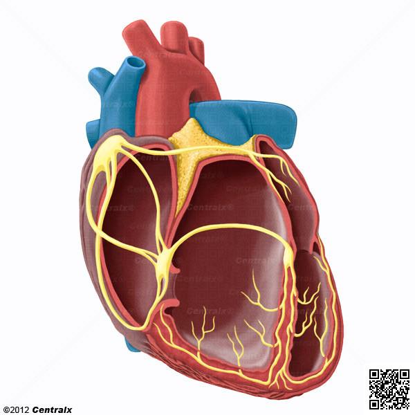 Sistema de Conducción Cardíaco - Atlas de Anatomía del Cuerpo Humano ...
