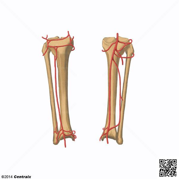 Arteria Poplítea - Atlas de Anatomía del Cuerpo Humano - Centralx