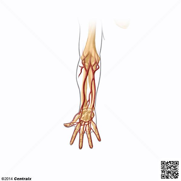 Arteria Radial - Atlas de Anatomía del Cuerpo Humano - Centralx