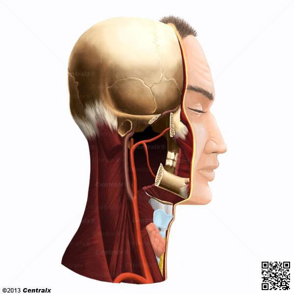 Arteria Carótida Externa - Atlas de Anatomía del Cuerpo Humano ...
