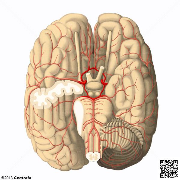 Círculo Arterial Cerebral
