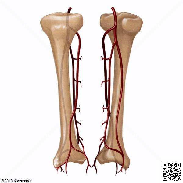 Arterias Tibiales - Atlas de Anatomía del Cuerpo Humano - Centralx