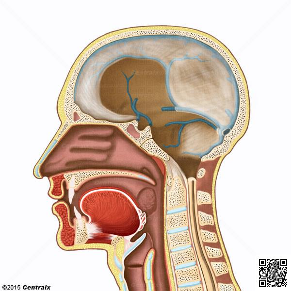 Seno Sagital Superior - Atlas de Anatomía del Cuerpo Humano - Centralx