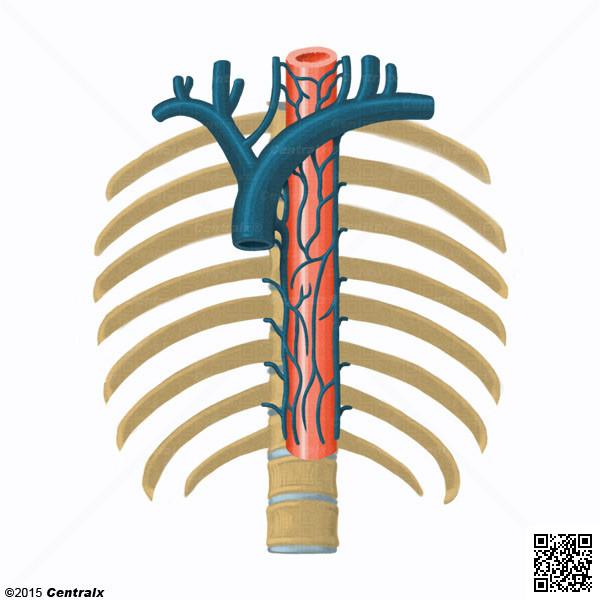 Vena Ácigos - Atlas de Anatomía del Cuerpo Humano - Centralx