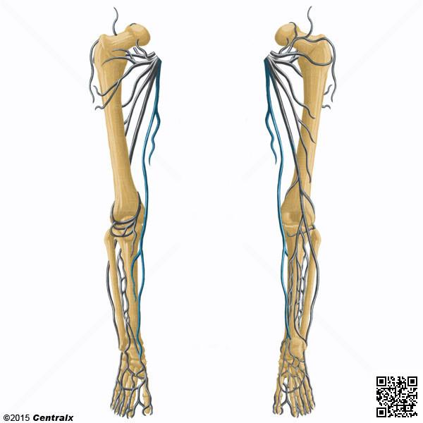 Vena Safena - Atlas de Anatomía del Cuerpo Humano - Centralx