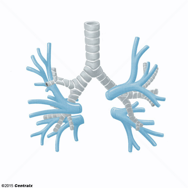 Venas Pulmonares - Atlas de Anatomía del Cuerpo Humano - Centralx