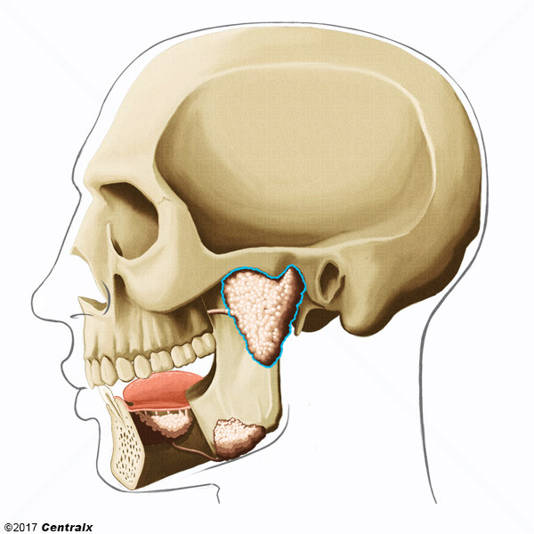 Glándula Parótida - Atlas de Anatomía del Cuerpo Humano - Centralx