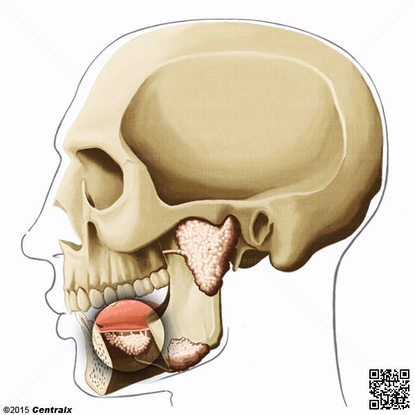 Glándula Sublingual - Atlas de Anatomía del Cuerpo Humano - Centralx