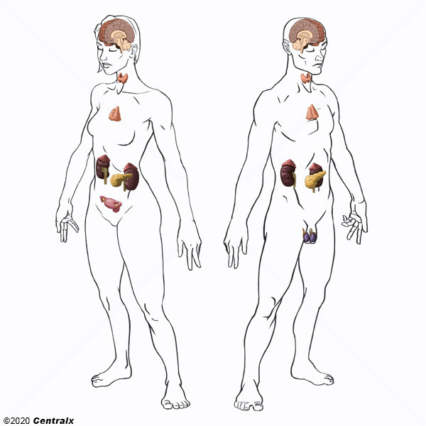 Sistemas Del Cuerpo Humano Sistema Endocrino