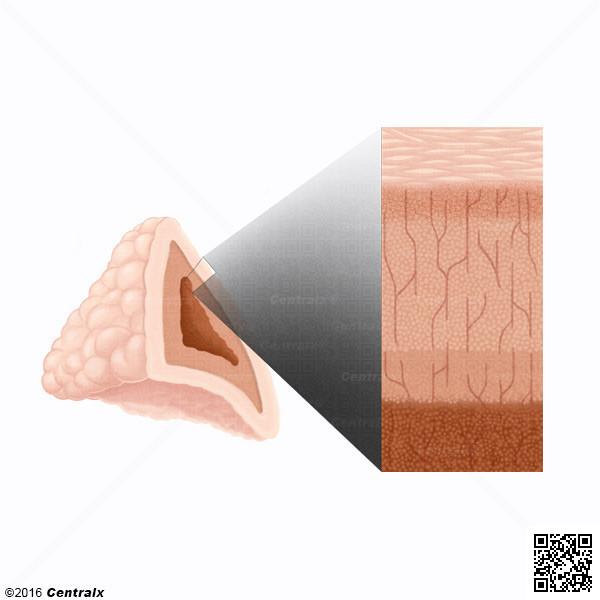 Corteza Suprarrenal