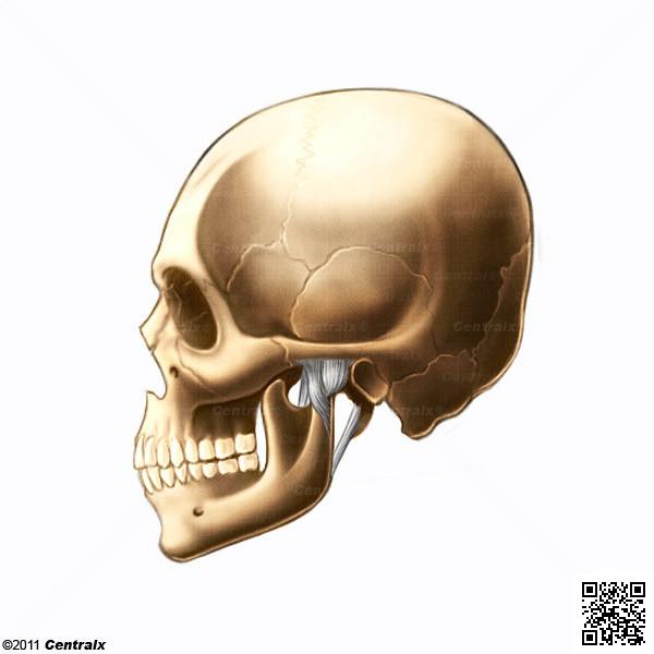 Articulación Temporomandibular - Atlas de Anatomía del Cuerpo Humano ...