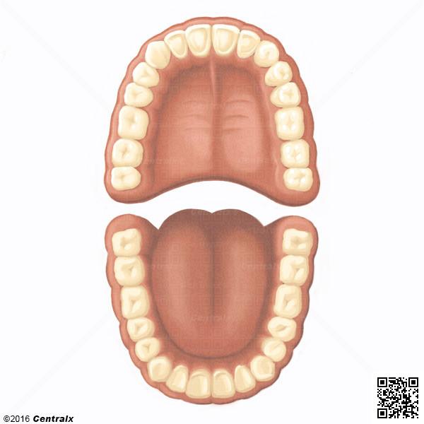 Dentición Permanente