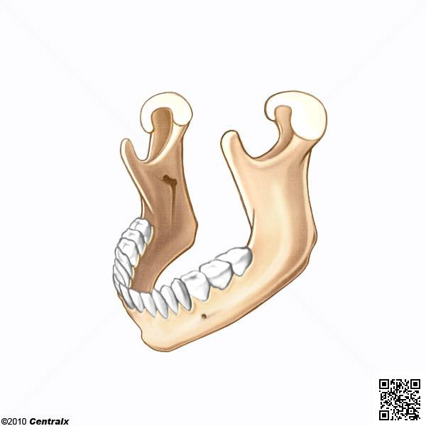 Mandíbula - Atlas de Anatomía del Cuerpo Humano - Centralx