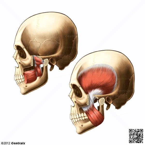Músculos Masticadores - Atlas de Anatomía del Cuerpo Humano - Centralx