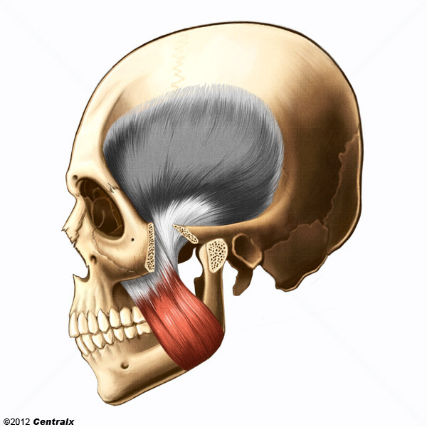 Músculo Masetero