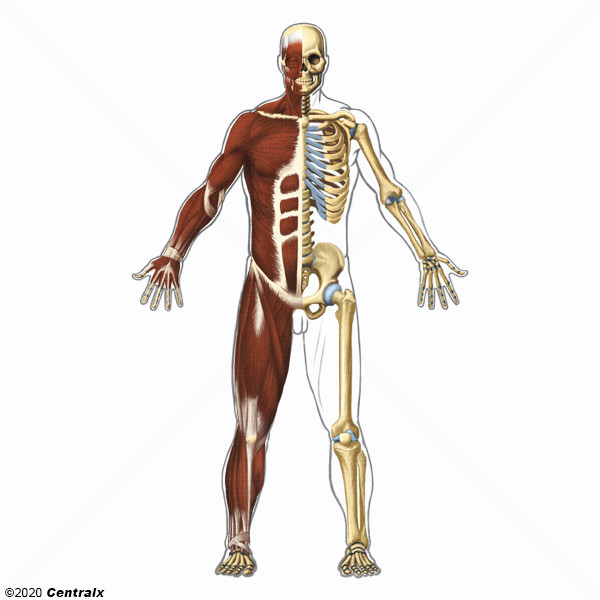 Sistema Musculoesquelético