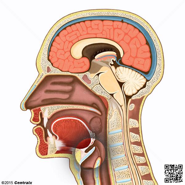 Laringe - Atlas de Anatomía del Cuerpo Humano - Centralx