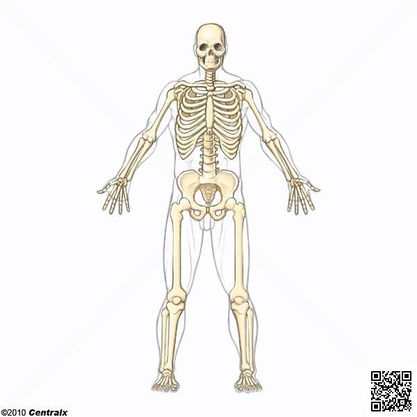 Esqueleto - Atlas de Anatomía del Cuerpo Humano - Centralx