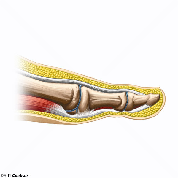 Articulación del Dedo del Pie - Atlas de Anatomía del Cuerpo Humano ...