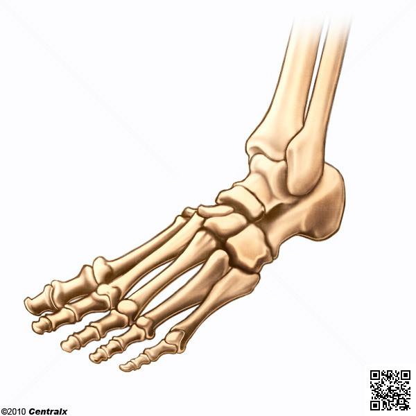 Huesos del Pie - Atlas de Anatomía del Cuerpo Humano - Centralx